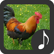 Rooster Sounds 3.1.7